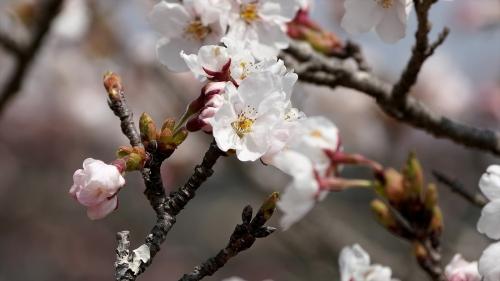 Sakura-onccsnyd07067